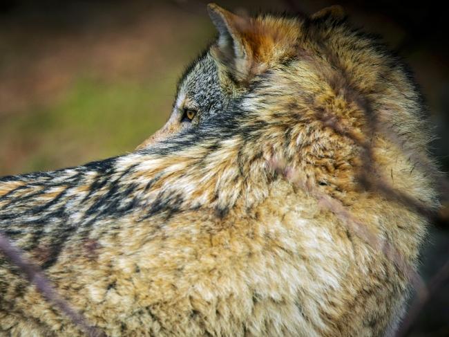 La sagesse du loup 5