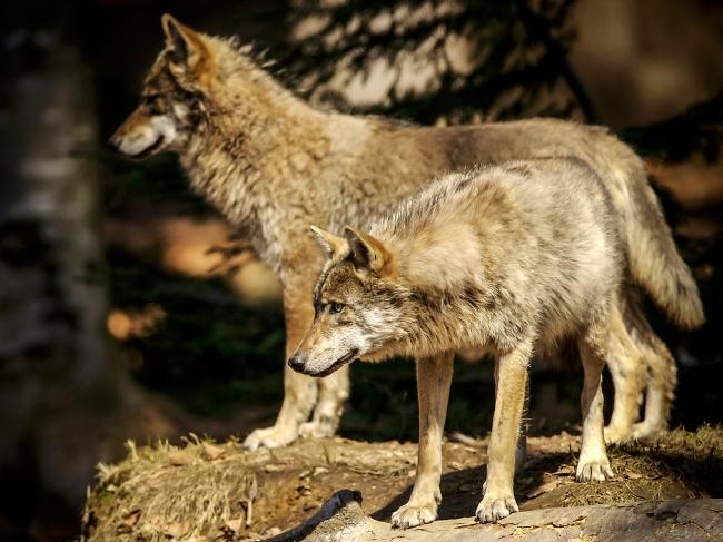 La sagesse du loup 68